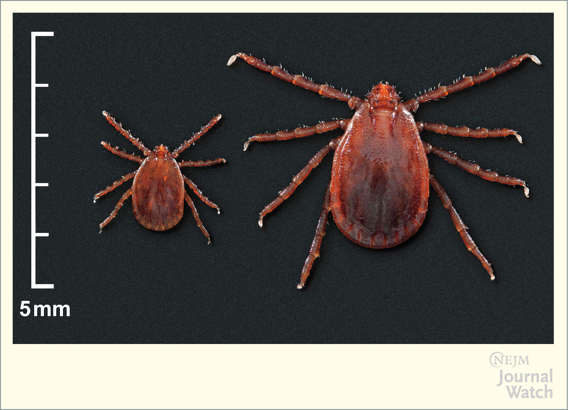 Asian Tick Takes a Bite in the U S